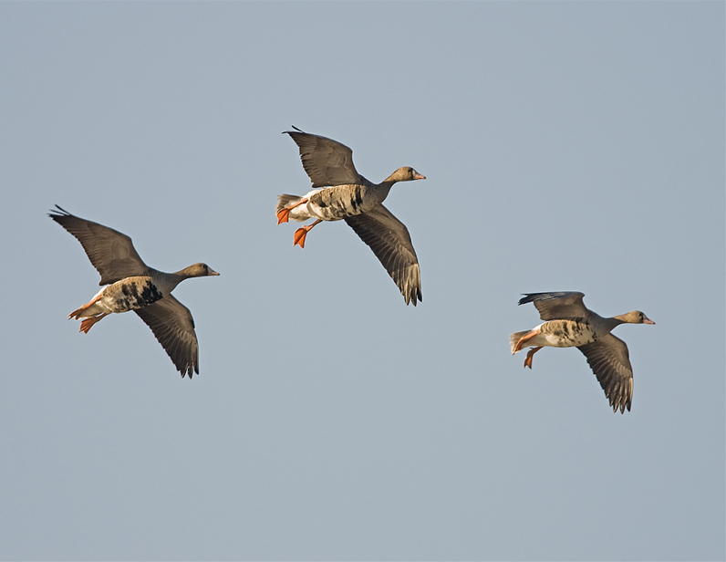 Greater white fronted goose flying photos