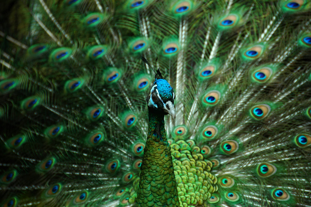 Green peafowl cute wallpapers