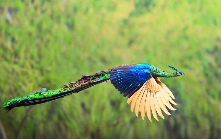 Green peafowl flying photos
