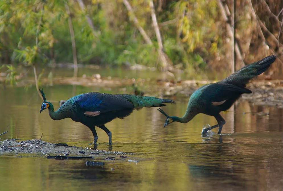 Indian peafowl birds wallpapers