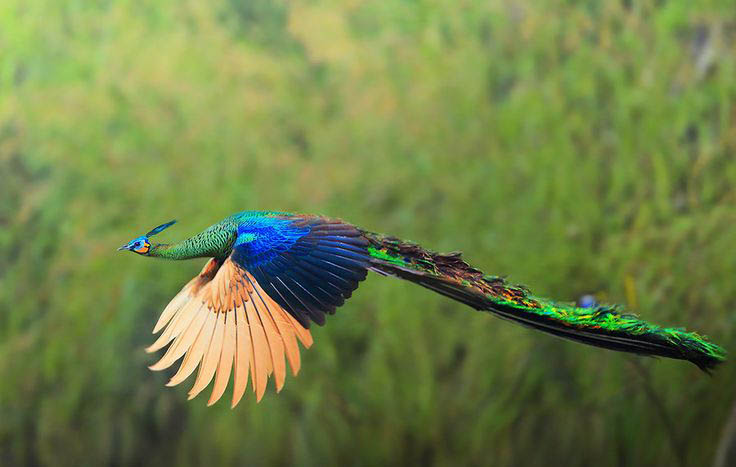 Indian peafowl flying pictures