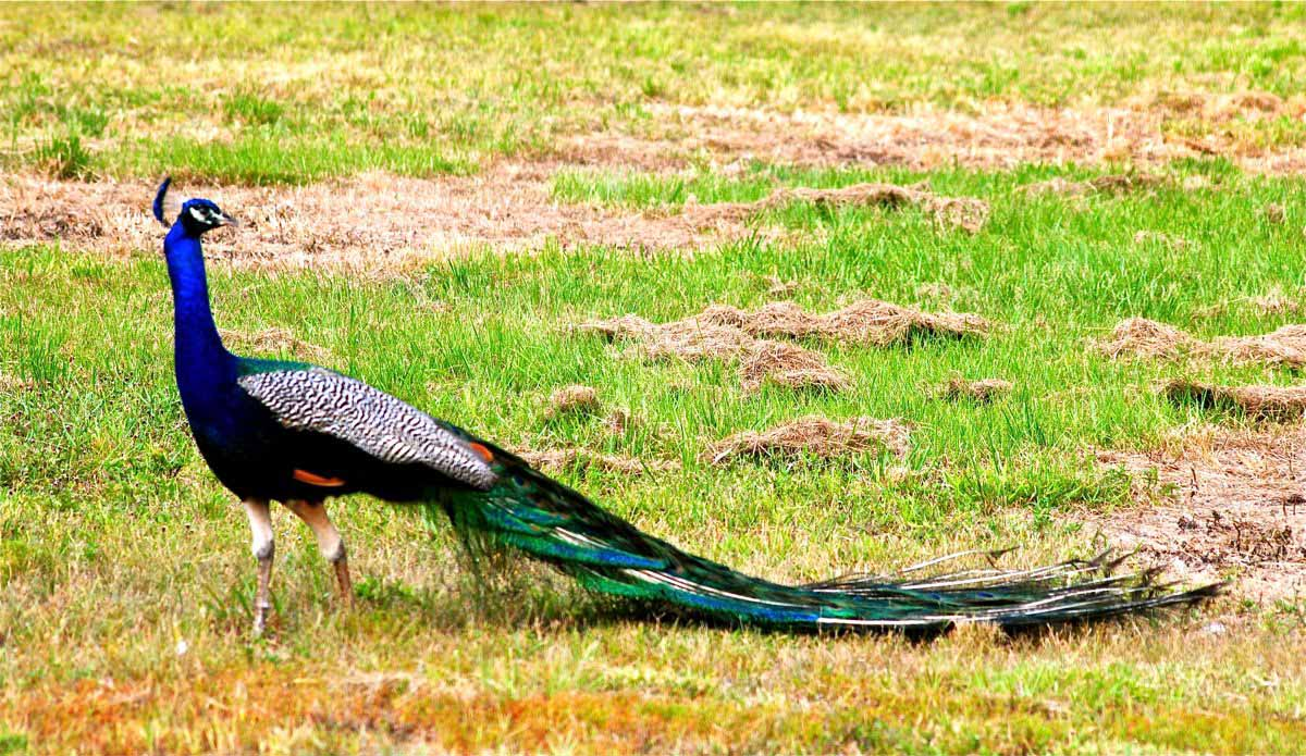 Indian peafowl photos