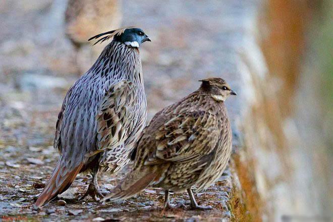 Koklass pheasant pair photos