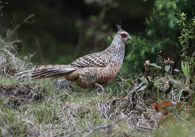 Male cheer pheasant photos