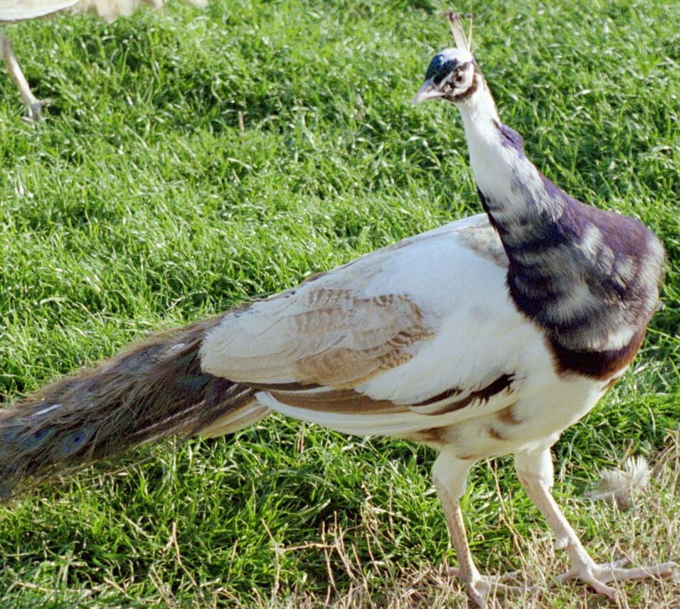 Male purple pied peafowl pictures