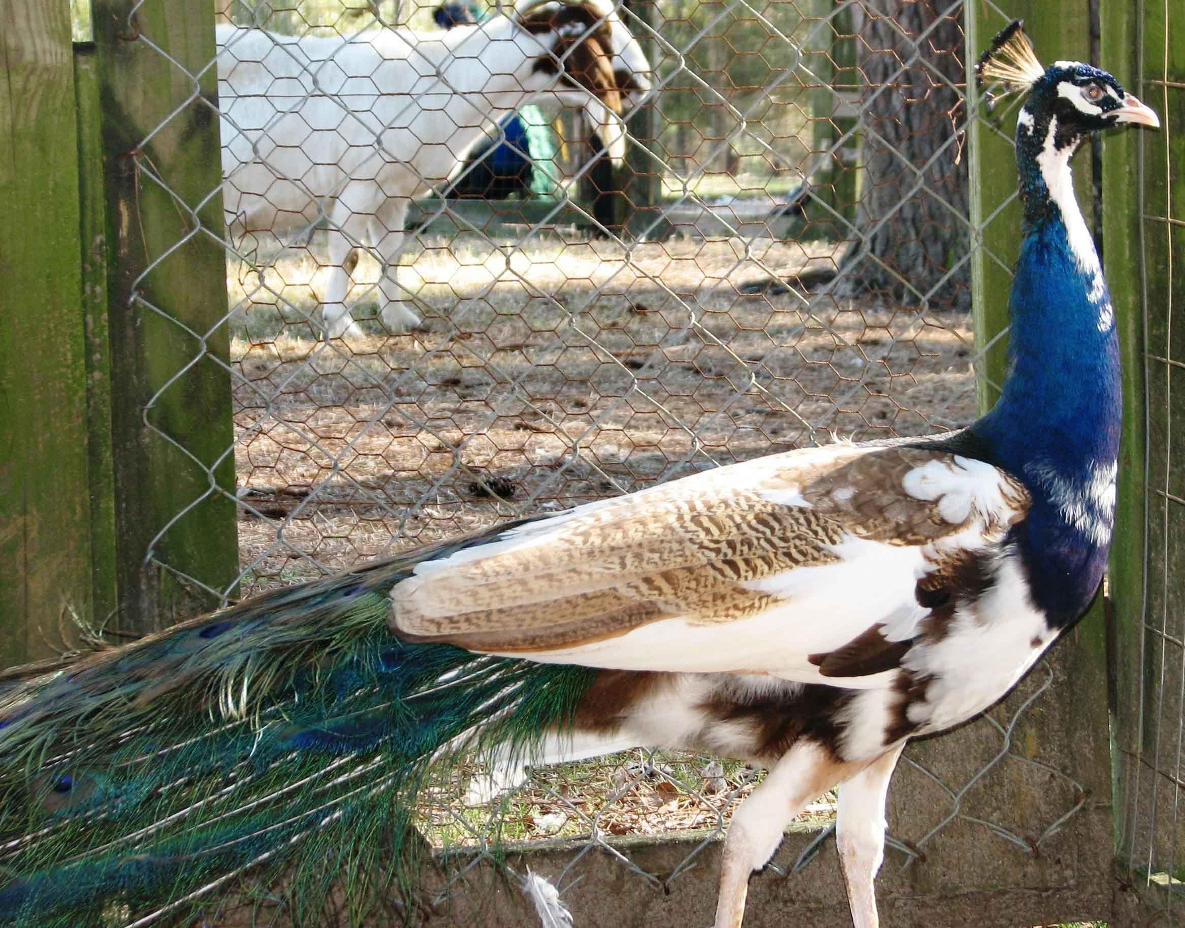 Purple pied peafowl photos