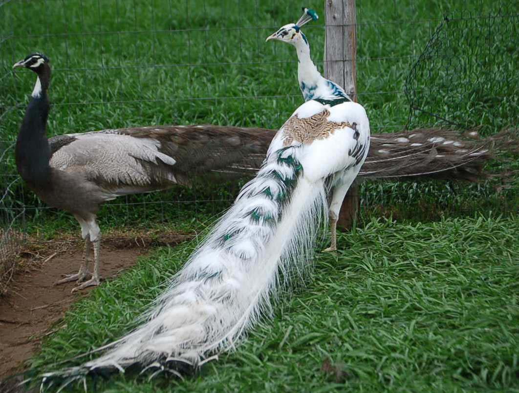 Silver pied peafowl pair photos