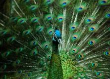 green peafowl pictures