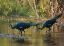 indian peafowl pictures