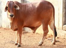 sahiwal cow pictures