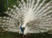 silver pied peafowl pictures