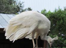 white spalding peafowl pictures