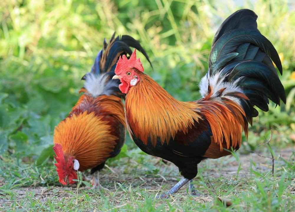 Two red junglefowl birds wallpapers