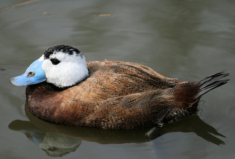 White headed duck pictures