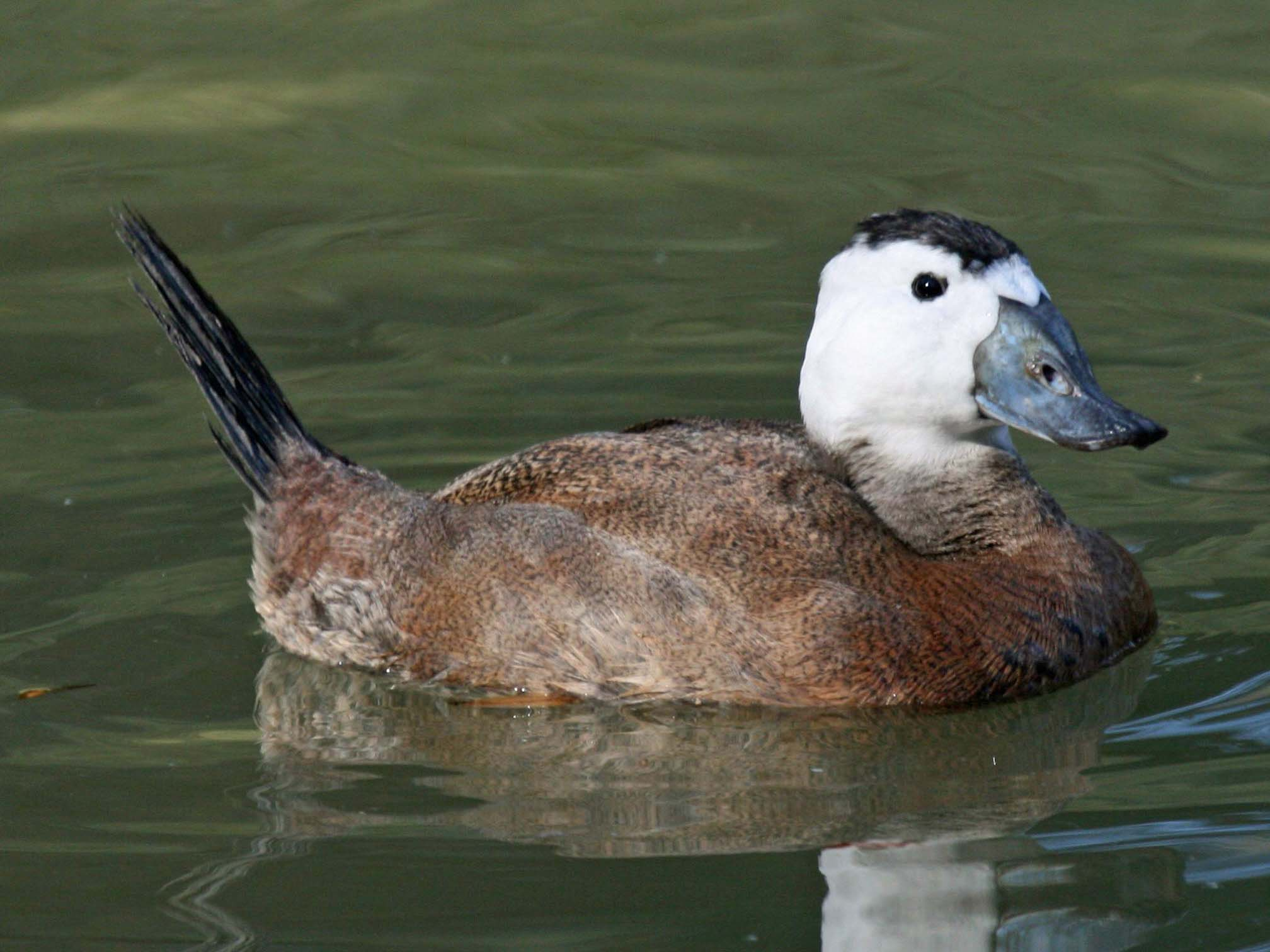 White headed duck wallpapers