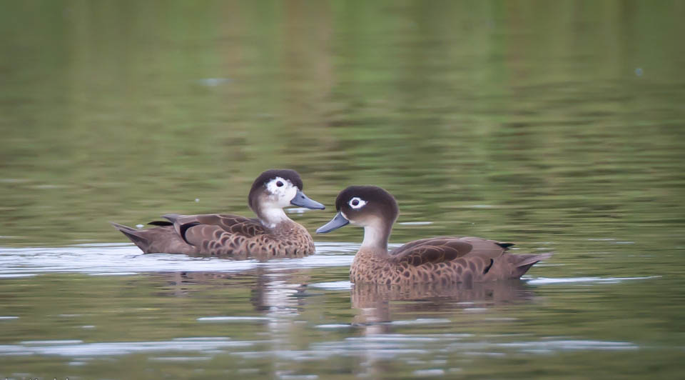 Andaman teal indian duck gallery