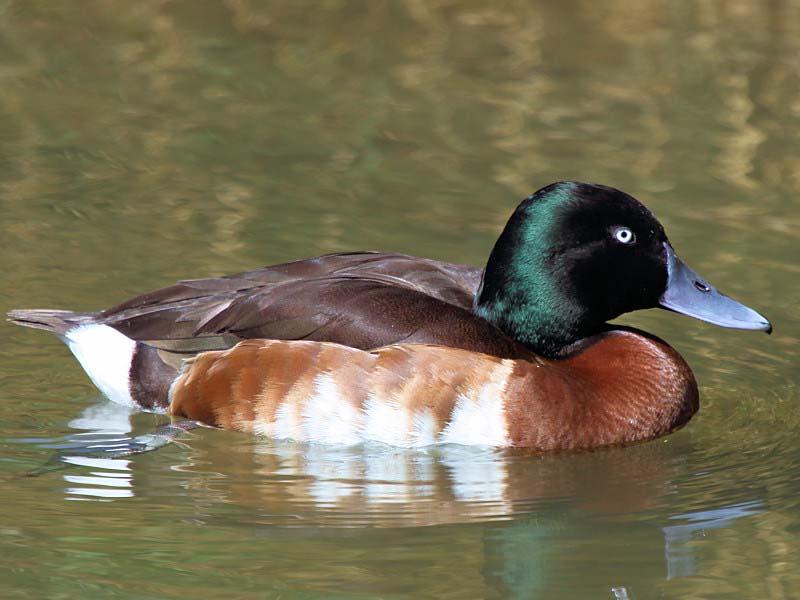Baers pochard duck photos