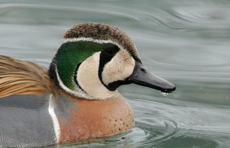 Baikal teal face pictures