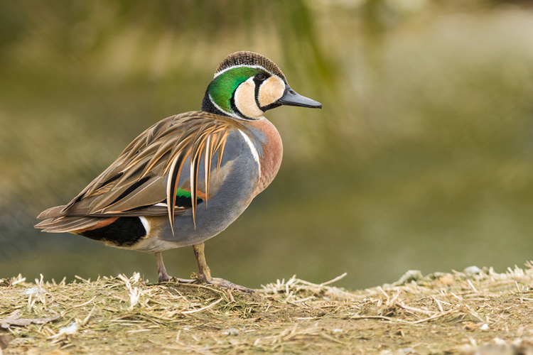 Baikal teal male duck images