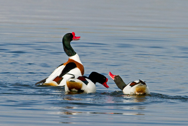 Common shelduck pair photos