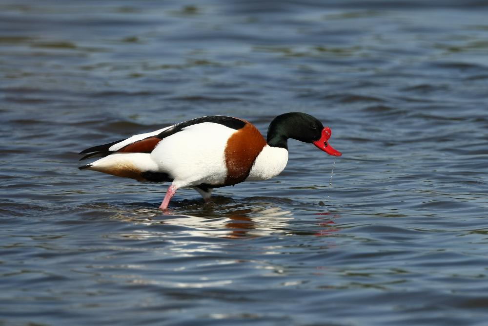 Common shelduck pictures