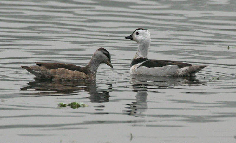 Cotton pygmy goose pair photos