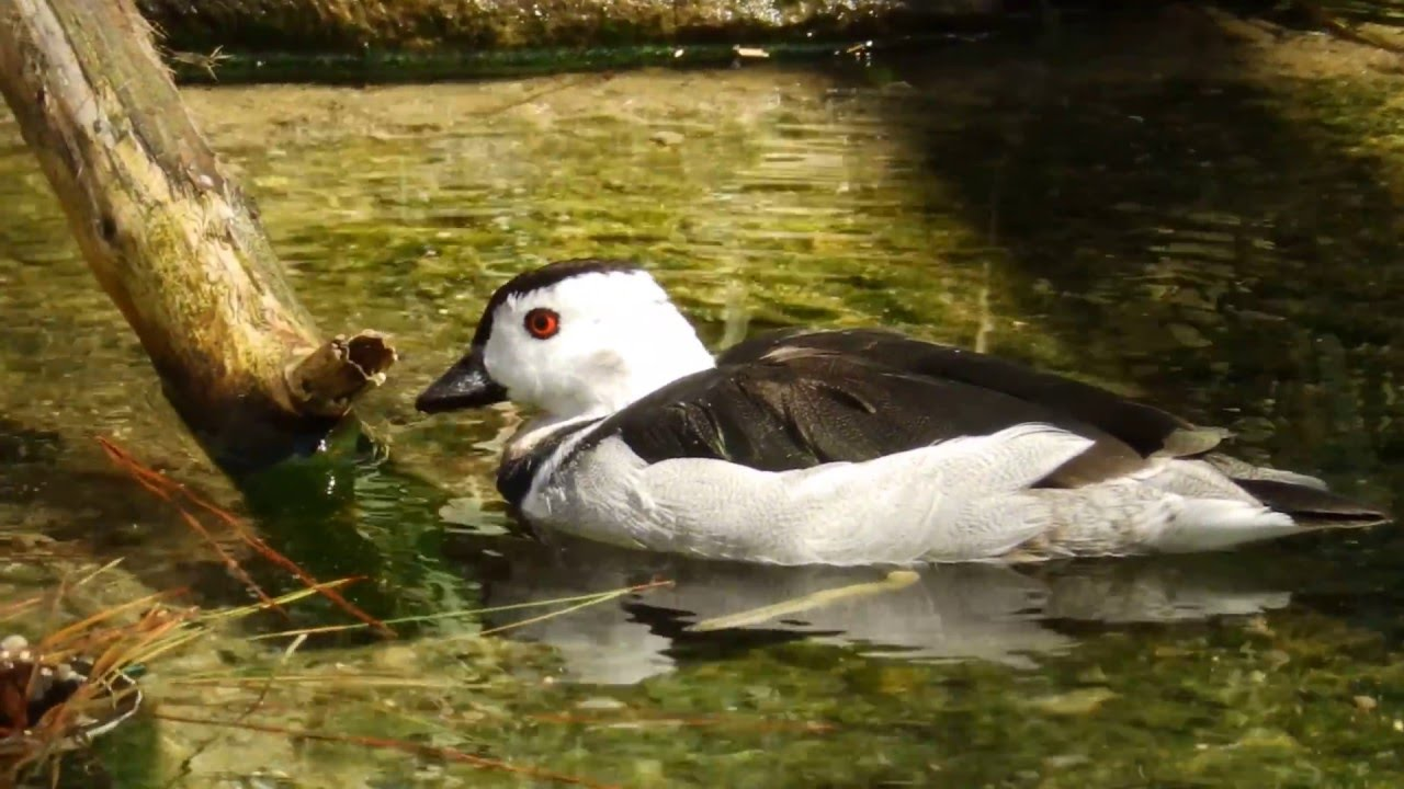 Cotton pygmy goose pictures