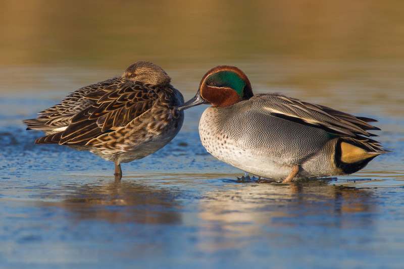 Eurasian teal male and female images