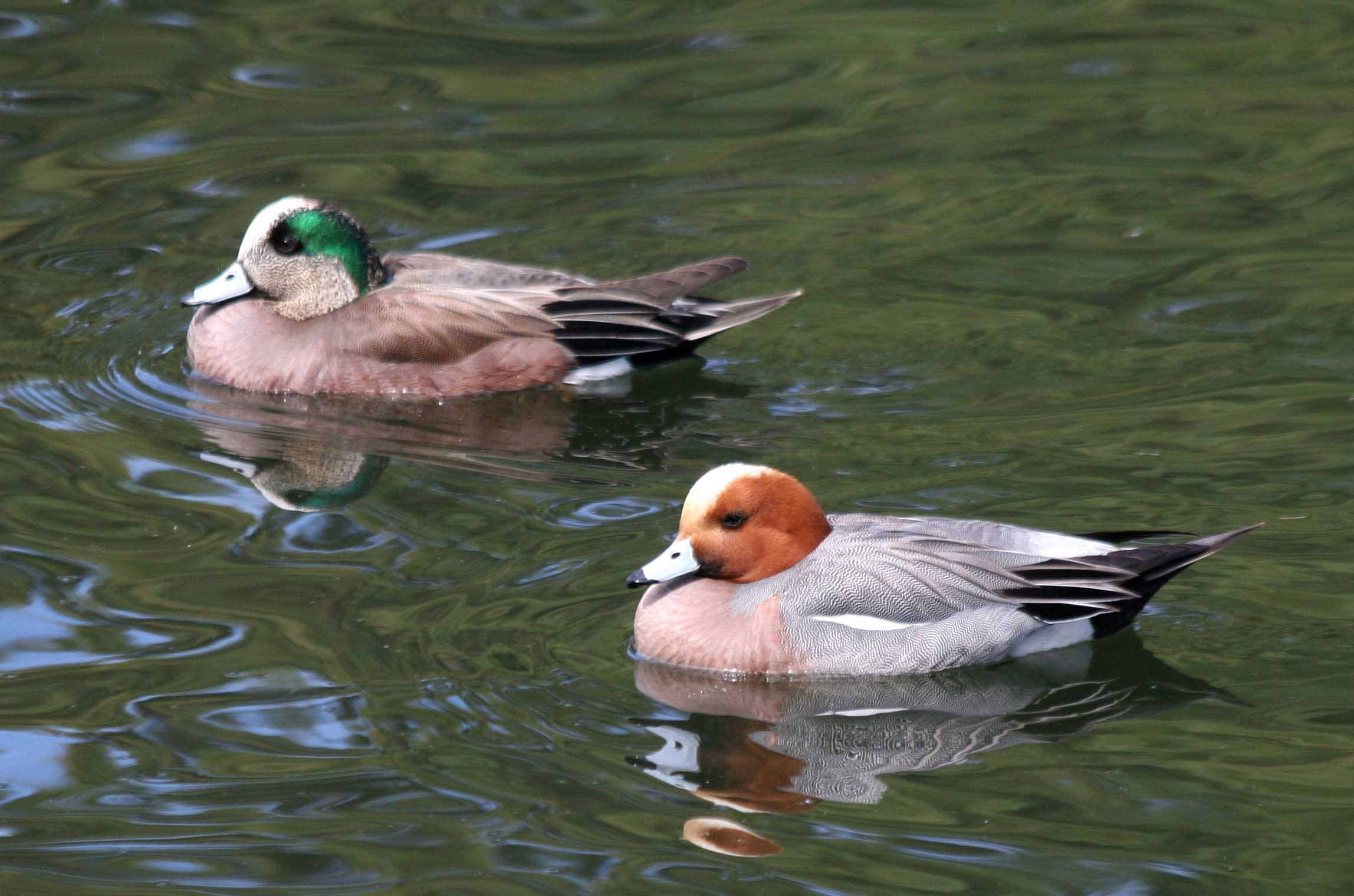 Eurasian wigeon male and female images