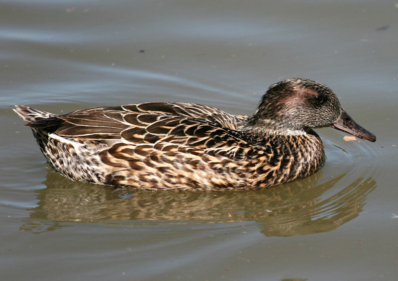 Falcated duck pictures