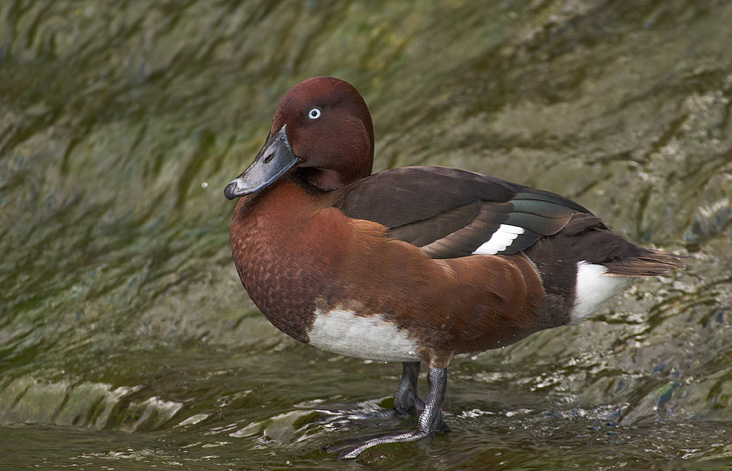 Female ferruginous pochard pictures