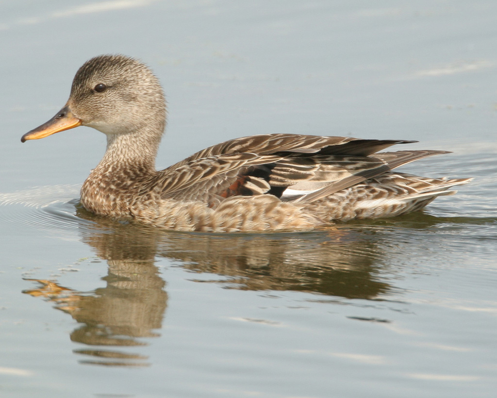 Female gadwall pictures