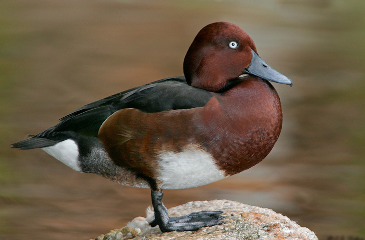 Ferruginous pochard wallpapers