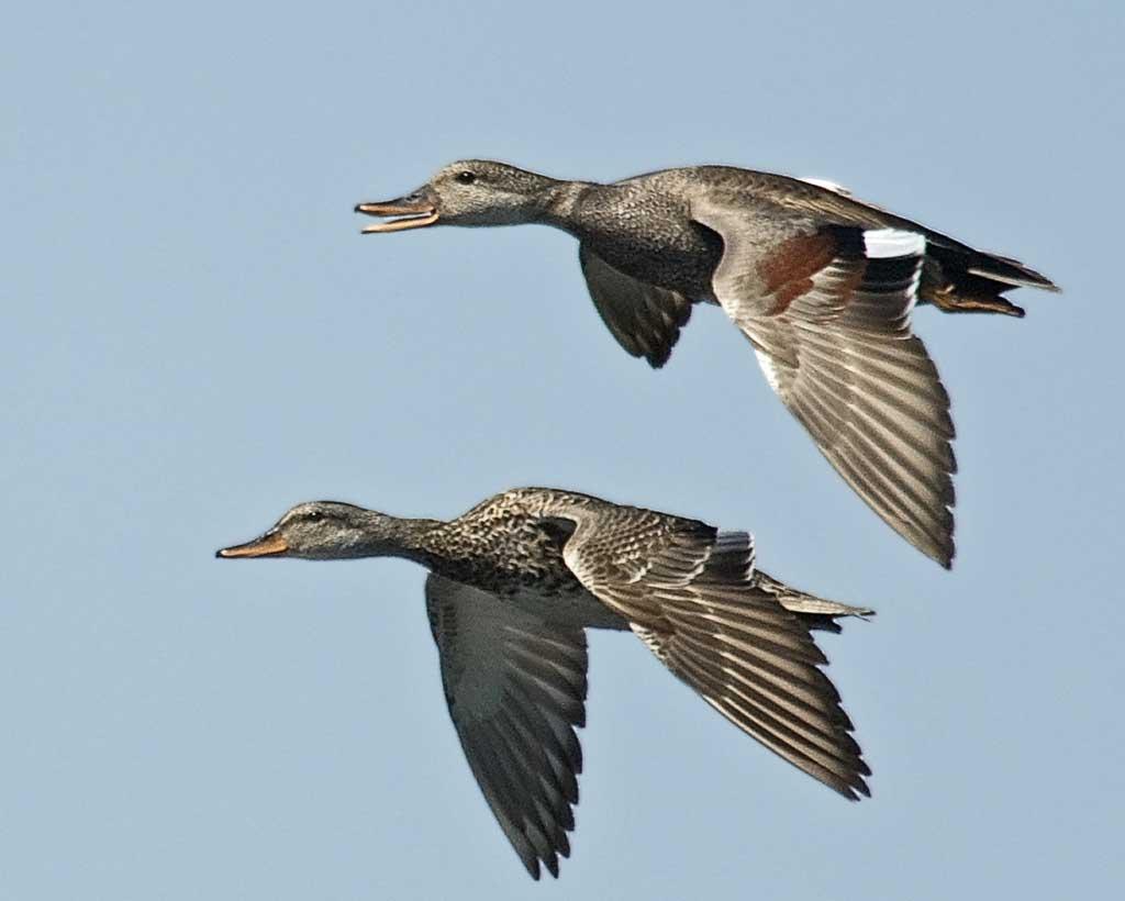 Gadwall flying photos