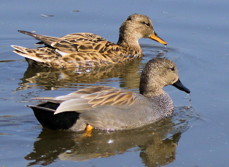 Gadwall male and female images