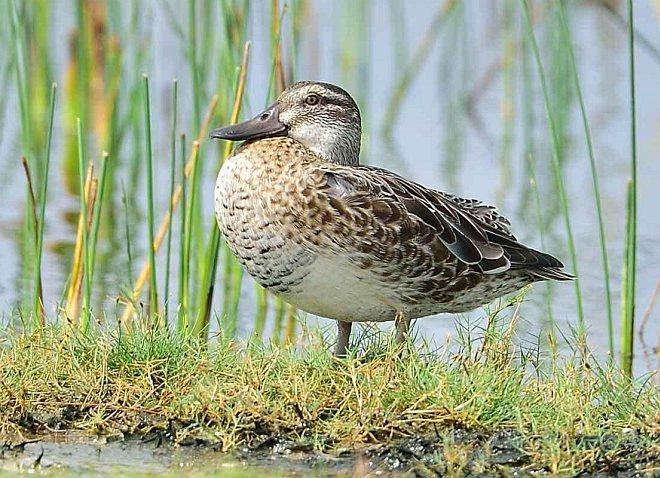 Garganey duck pictures