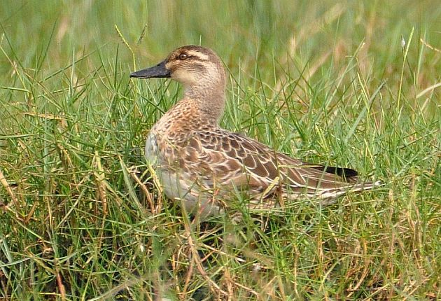 Garganey female pictures