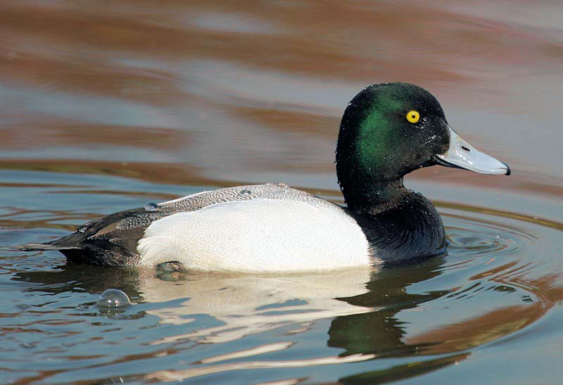 Greater scaup images