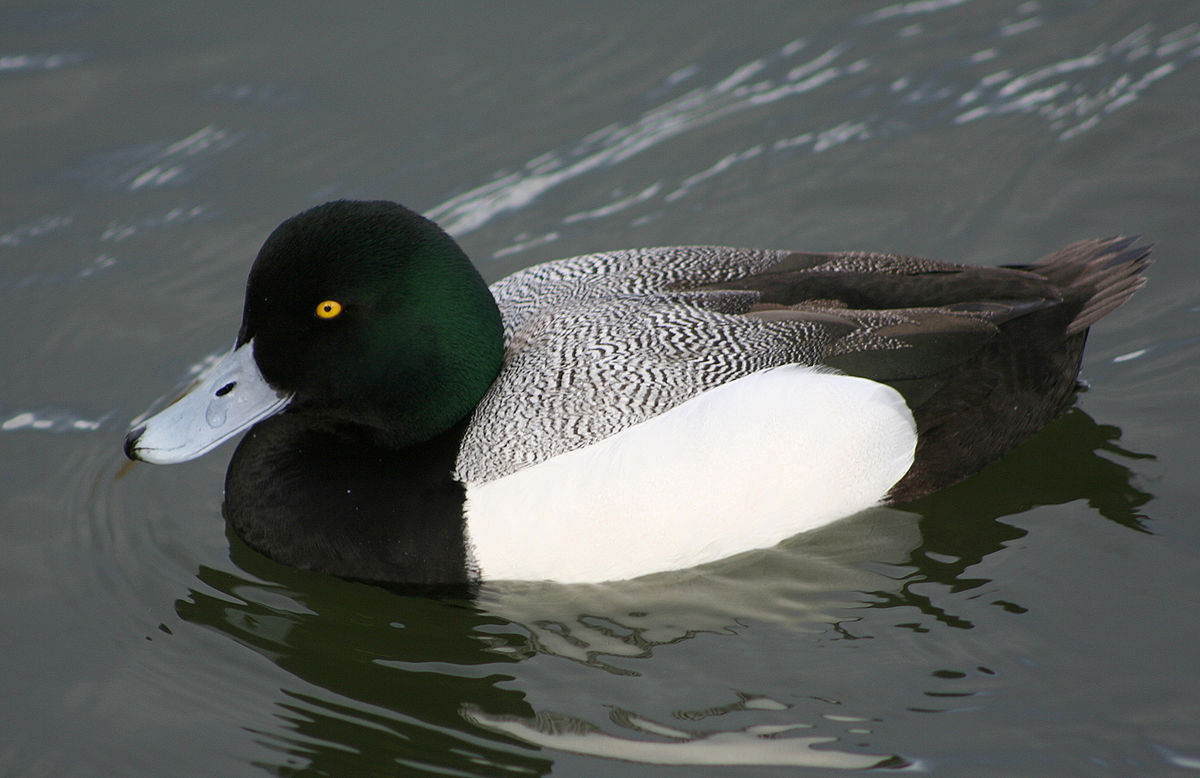 Greater scaup male pictures