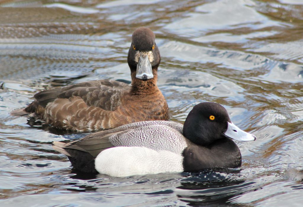 Greater scaup pair photos
