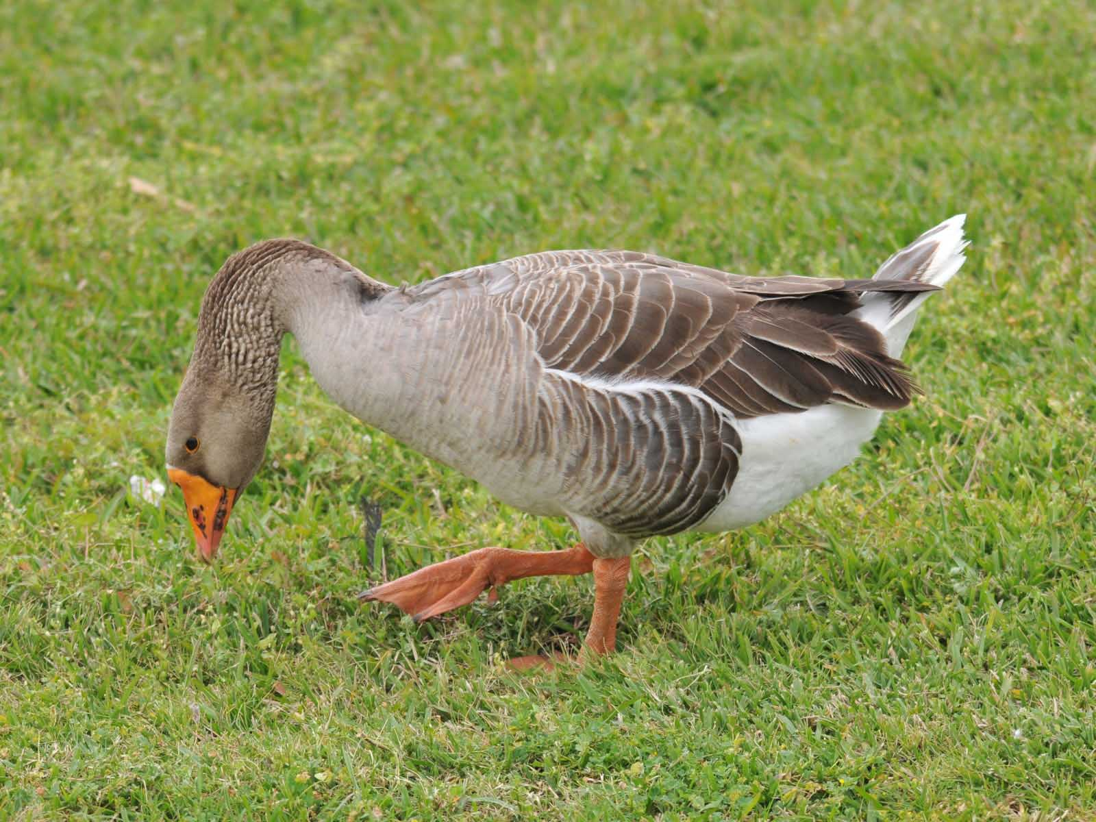 Greylag goose eating pictures