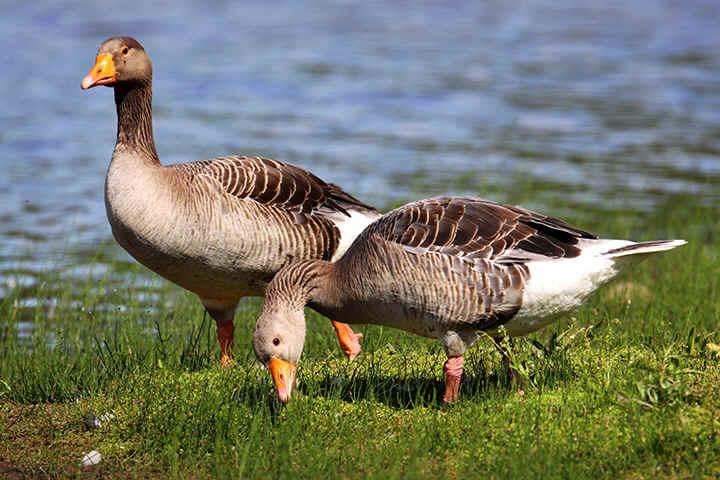 Greylag goose pair photos