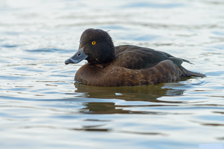 India tufted female duck gallery