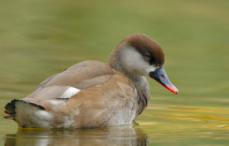 Indian red crested pochard duck gallery