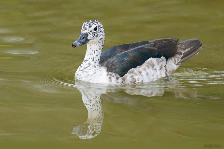 Knob billed duck female pics