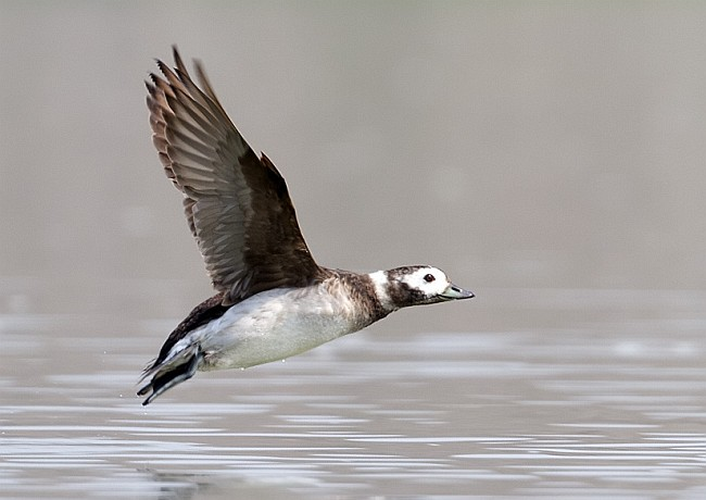 Long tailed duck flying pictures