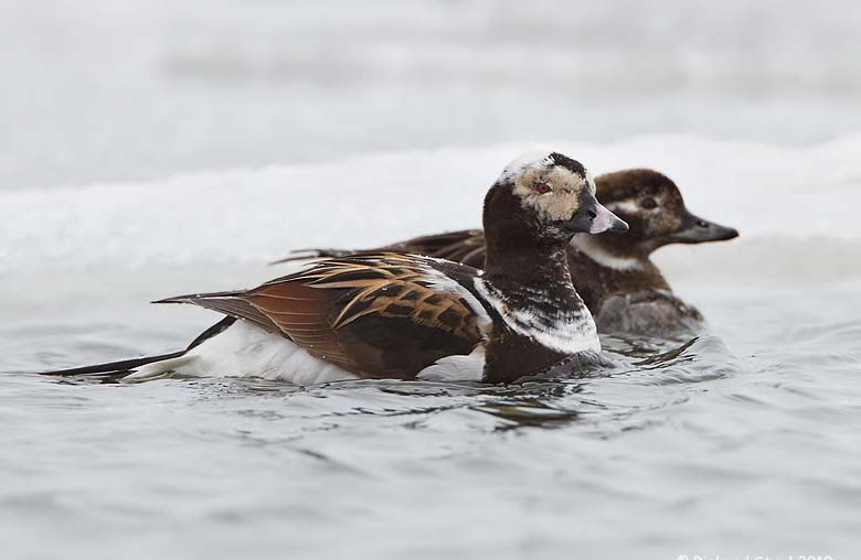 Long tailed duck pair pics