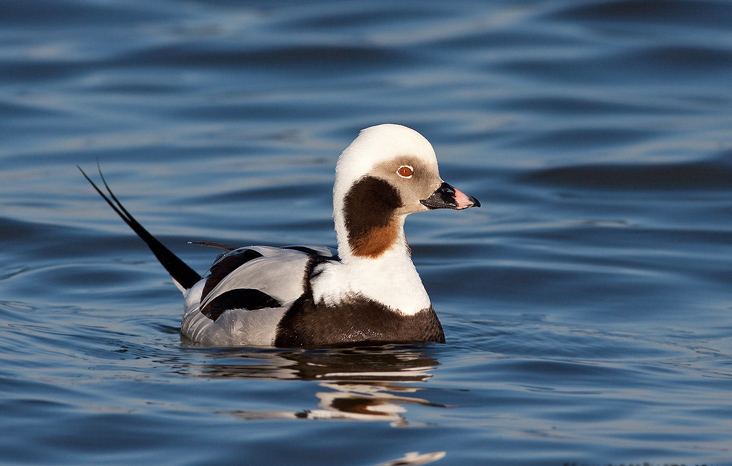 Long tailed duck wallpapers