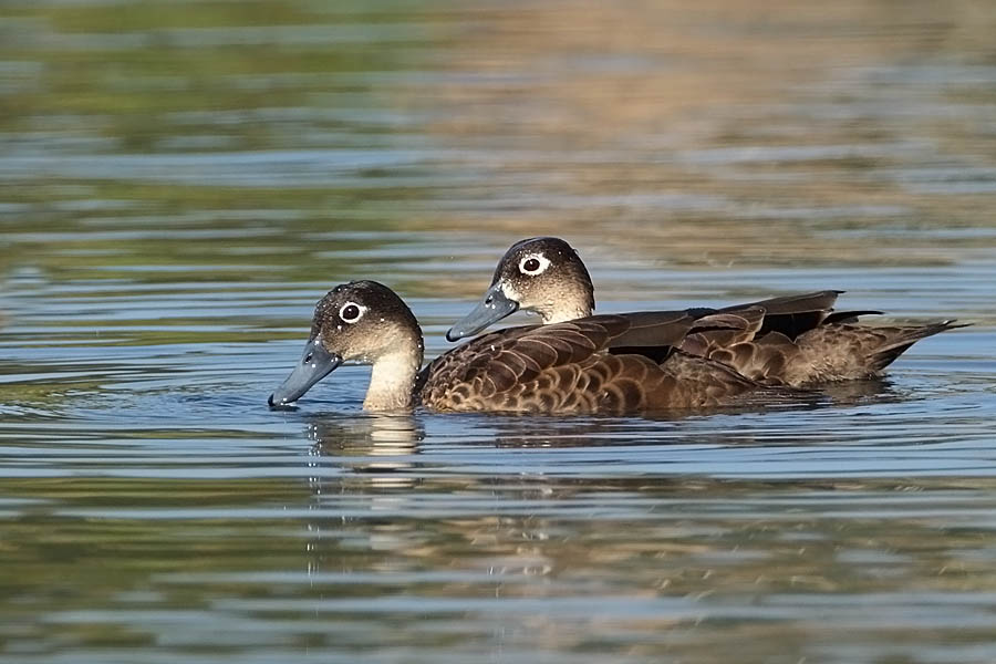 Male and female andaman teal pictures