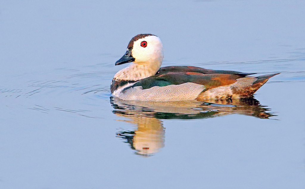 Male cotton pygmy goose pictures